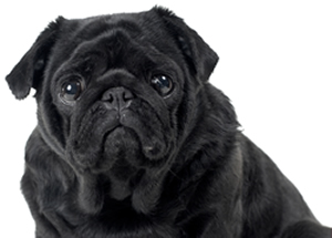 photo of black Pug