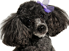 photograph of gray Toy Poodle dog