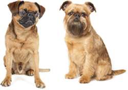 smooth and rough coat Brussels Griffon toy breed dogs