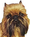 face photograph of Brussels Griffon toy breed dog