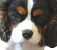 face photograph of beautiful Cavalier King Charles puppy