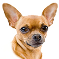 face photograph of a Chihuahua dog