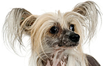 photograph of face of a hairless Chinese Crested dog