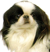 face photograph of beautiful Japanese Chin  Toy breed dog