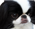face photograph of black and white Japanese Chin dog