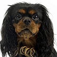 photograph of tan and black English Toy Spaniel dog