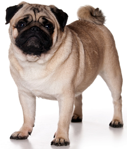 full body photo of fawn color Pug