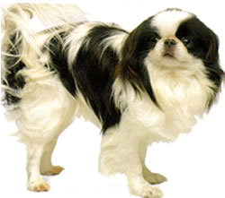 full body photograph of Japanese Chin Toy breed dog
