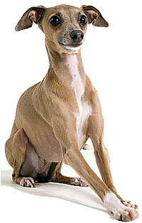 Review Of Ig Italian Greyhound