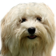 face photograph of a white Havanese dog