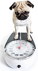 color picture of Pug standing on bathroom scale