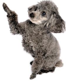 Resultado de imagen para poodle toy paw