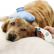 photograph of dog with ice pack on his head and Pet Temp thermometer in his ear
