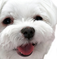 face photograph of a happy white Maltese dog