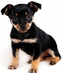 Puppies on Min 20pin 20puppy Miniature Pinscher Great Guard Dog For Your House