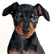 face photograph of Minature Pinscher black dog