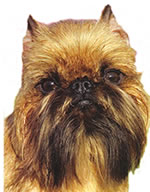 face photograph of adorable Brussels Griffon Toy breed dog
