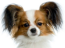 photograph of Papillon dog face