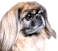 photograph of the face of a beautiful Pekingese dog