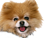 photograph of the happy face of a small Pomeranian dog