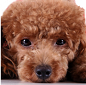 Color photograph of apricot colored Toy Poodle