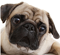 photograph of Pug dog face