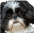 photograph of Shih Tzu face