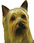 color photograph of  Silky Terrier dog face